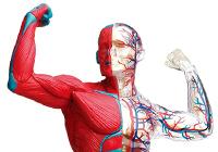 人体模型シリーズ